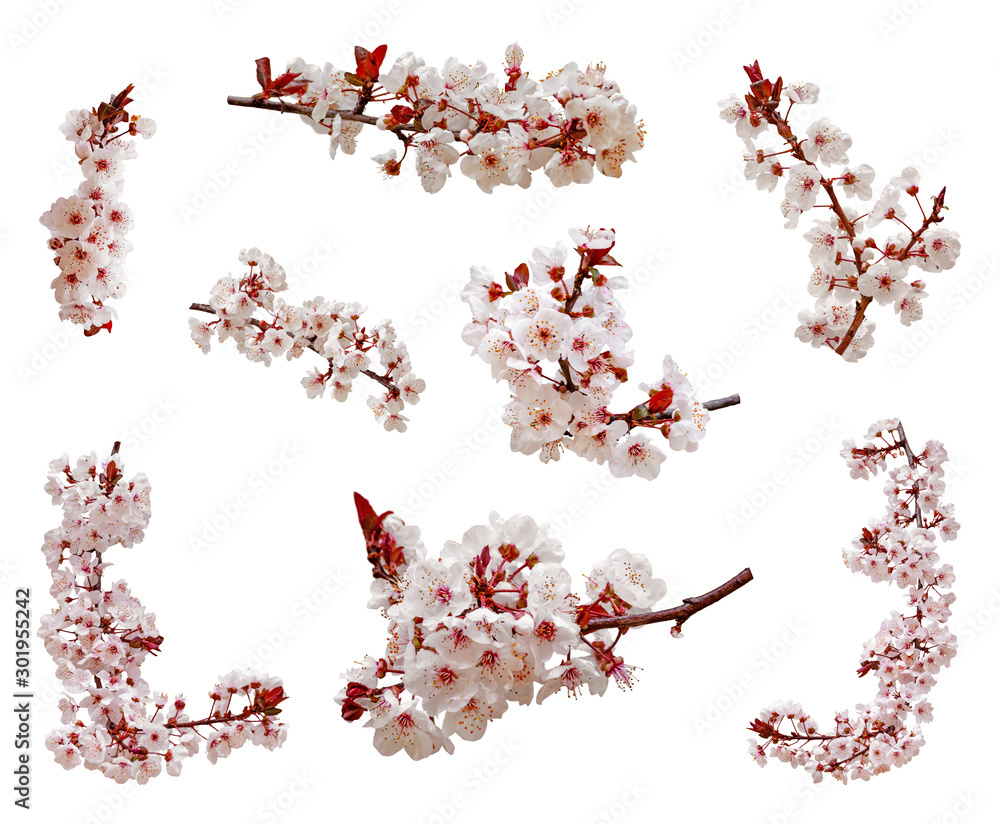 Fototapeta Cherry blossoms flowers in blooming on branch isolated on white background. Cutout aka cut out or cutout of Japanese Sakura flowers and buds. Spring and romantic set or pack. Selective focus.