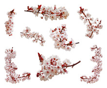 Cherry Blossoms Flowers In Blooming On Branch Isolated On White Background. Cutout Aka Cut Out Or Cutout Of Japanese Sakura Flowers And Buds. Spring And Romantic Set Or Pack. Selective Focus.