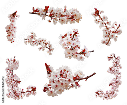 Foto Cherry blossoms flowers in blooming on branch isolated on white background