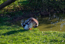 A Colourful Duck Preening Beside A Pond In An Orchard