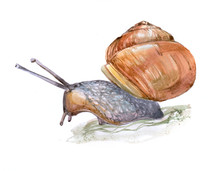 Watercolor Single Snail Animal Isolated On A White Background Illustration.