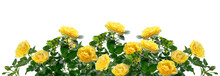 Beautiful Wide Banner With Yellow Rose Flowers And Green Leaves Isolated On White Background