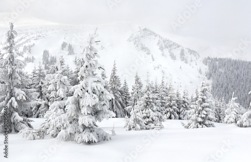 Foto auf Leinwand Weiß Winter landscape of mountains with of fir forest in snow. Carpathian mountains