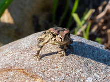 20190727 Raucous Toad (Sclerop...