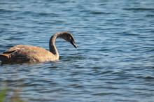 Schwan Am Gelben Ufer, Insel R...