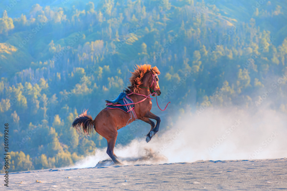 Fototapety, obrazy: Red horse rearing up on desert - Bromo, Indonesia