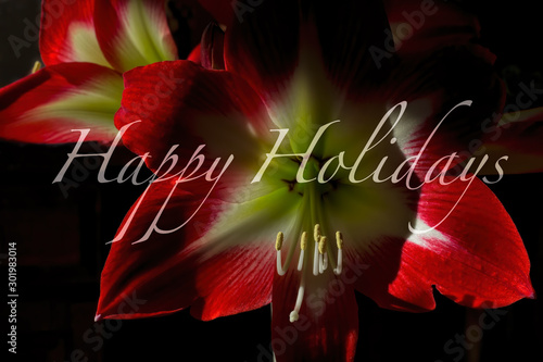 Red and White Amaryllis Holiday Greeting Card