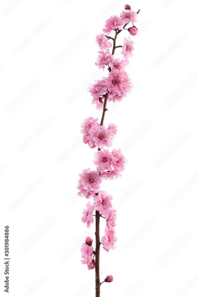 Fototapety, obrazy: Pink cherry blossom isolated on white background.