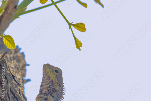 close up photo of a head of the changeable lizard on the tree top, The oriental Wallpaper Mural