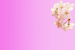 canvas print picture - Spring floral background. Sakura flowers isolated pink gradient background.