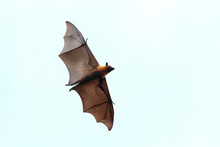 """Bat Flying In The Sky.""""Lyle's ..."""