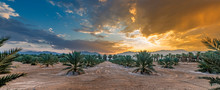 Panorama With Plantation Of Date Palms. Image Depicts An Advanced Desert Agriculture Industry In The Middle East