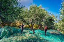 Fresh Olives Harvesting From Women Agriculturalists  In An Olive Field In Crete, Greece