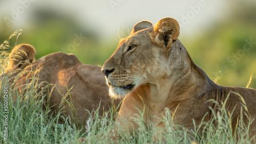 Foto op Plexiglas Leeuw lion in african national park