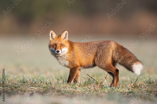 Photo Mammals - European Red Fox (Vulpes vulpes)
