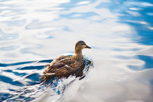 A Wild Brown Duck Floats On The Clear, Sky-reflecting Water Surface Of The Lake On A Bright Day.