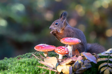 Cute Hungry Red Squirrel (Sciu...