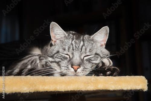 Fototapeta  schlafende grau getigerte Katze auf einer Katzen Plattform