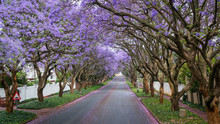 Tall Jacaranda Trees Lining The Street Of A Johannesburg Suburb In The Afternoon Sunlight
