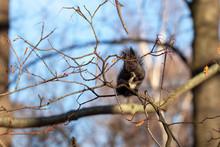 Black Squirrel Sits On A Branc...
