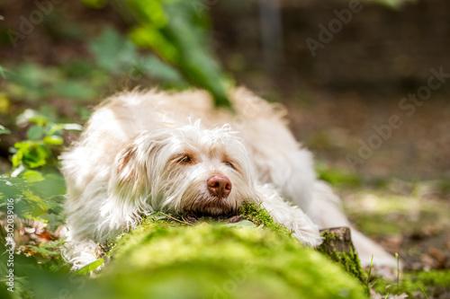 Hund müde im Wald Canvas Print