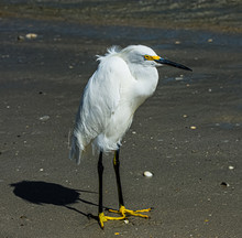 Snowy Egret Blowing On The Beach