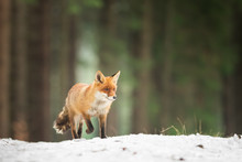 Cute Red Fox In The Natural En...