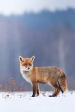 Cute Red Fox In The Natural En...