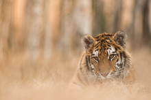 Siberian Tiger In The Natural ...