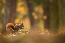Cute Red Squirrel In The Natural Evironment, Wildlife, Close Up, Silhouete, Sciurus Vulgaris