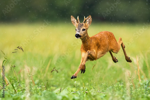 Foto op Plexiglas Ree A cute roe deer, capreolus capreolus, hopping on the grass covered with the summer sprinkle of rain. A dynamic young ruminant running to the left side of the camera. Fast wild animal sprinting.