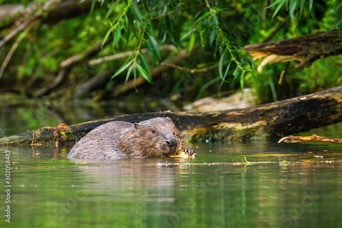 Photo A focused eurasian beaver, castor fiber, processing the wood in the wet surroundings of the river