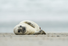 Young And Cute Grey Seal Pup, ...