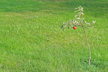 Young Apple Tree Plant With Fi...