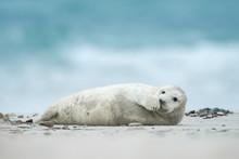 Young And Cute Grey Seal Pup, Natural Environment, Close Up, Wildlife, Halichoerus Grypus