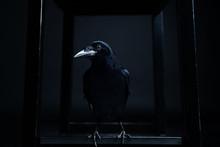 Dark Portrait Of A Raven Bird ...