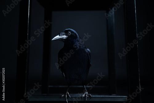 Canvastavla Dark portrait of a raven bird (black crow) on black background.