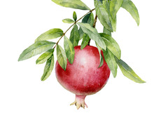 Watercolor Illustration. Ripe Red Pomegranate On A Branch With Leaves On A White Background.