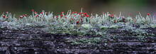 Brittish Soldiers Lichen (Cladonia Cristatella) Growing On Old Wooden Fence Railing. Red Fruiting Bodies Produce Spores For Dissemination. Thin Lines Are Spider Silk.