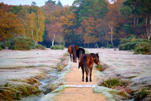 On A Frosty Autumn Morning In New Forest Just Outside The Village Of Brockenhurst. Four Brown Ponies Walking Away On Path Towards Fall Coloured Tree Forest