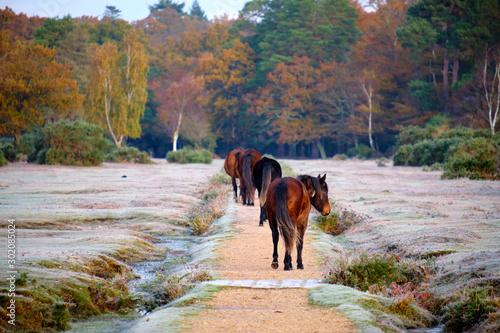 Obraz na plátně On a frosty autumn morning in New Forest just outside the village of Brockenhurst