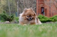 Cute Pomeranian Lying On Grass