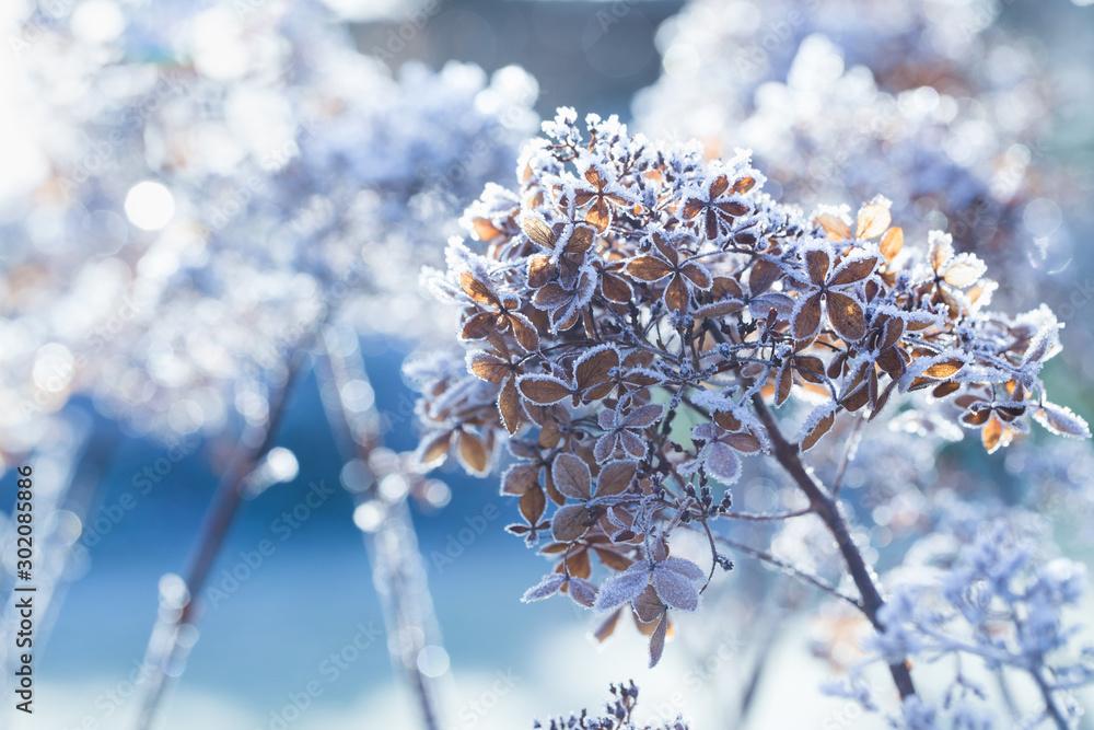 Fototapety, obrazy: Frozen hydrangea paniculata flowers in cold  winter