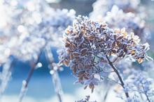 Frozen Hydrangea Paniculata Fl...