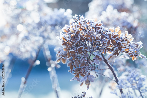 Fotomural  Frozen hydrangea paniculata flowers in cold  winter