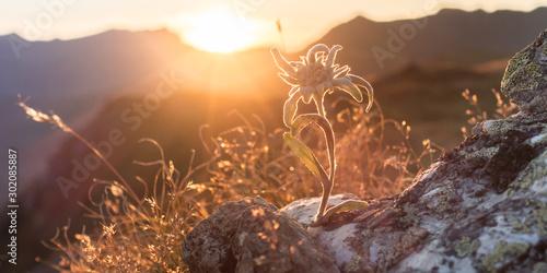 Photo Edelweiss auf Fels im herbstlichen Zillertal als Panorama