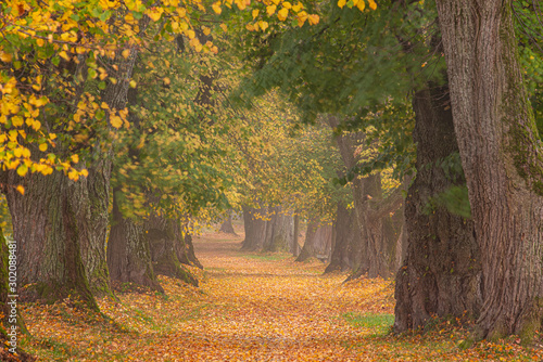 Tuinposter Herfst Beautiful lime tree alley in a colorful autumn in Germany Bavaria near Mindelheim