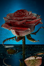 Red Rose In A Mineral Water Ja...