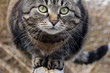 canvas print picture - Nahaufnahme vom Gesicht und den Augen einer hübschen braun-schwarzen Katze