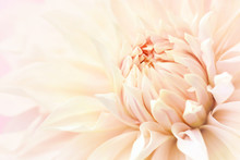 Summer Blossoming Delicate Dahlia, Blooming Flowers Festive Background, Pastel And Soft Bouquet Floral Card, Selective Focus, Toned